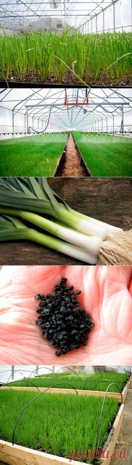 La cultivación de la cebolla a la pluma en el invernadero en invierno detalladamente