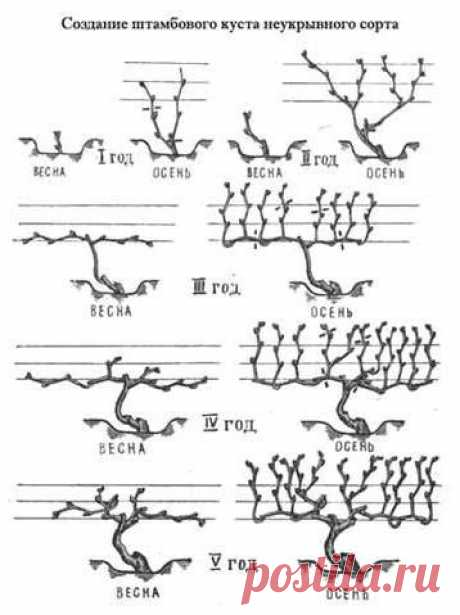 Весенняя обрезка винограда играет важную роль в формировании куста, правильном распределении полезных веществ в растении и его дальнейшей урожайности.