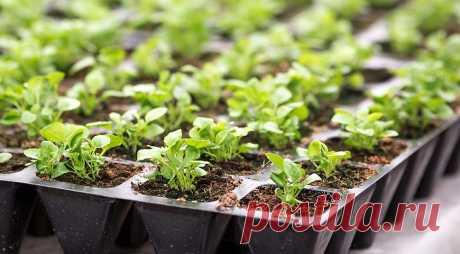 La cultivación de las plantas de la lobelia. La Clase maestra en Supersadovnik.ru