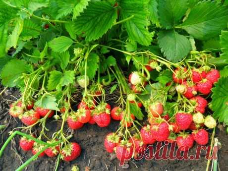 Вкусный Огород: Посадка и уход за клубникой