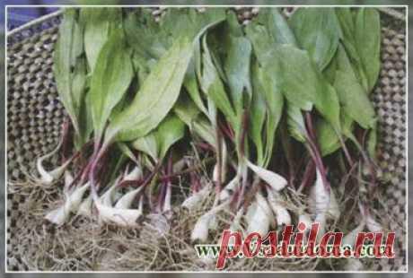 Растение ЧЕРЕМША - как вырастить (2 способа посадки) | Сайт о саде, даче и комнатных растениях.