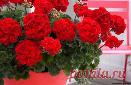 Аптечное средство для увеличения количества соцветий герани. | Записки садовода | Яндекс Дзен