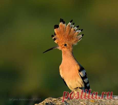 Удод — одна из самых узнаваемых птиц