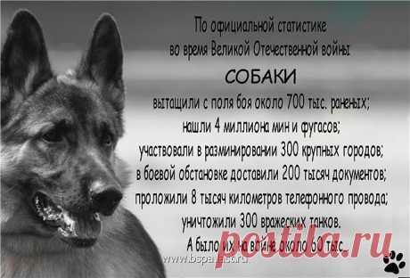 La hazaña de 150 perros-únicos fronterizos en el mundo el combate cuerpo a cuerpo de las personas y los perros con los fascistas