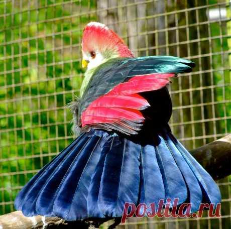 Краснохохлый турако - птица, перья которой являются музейными экспонатами - Путешествуем вместе