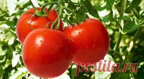 Как организовать правильный уход за рассадой томатов с момента проращивания семян и до высадки в грунт?   Не пропустите полезное видео