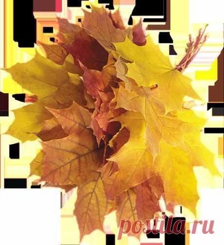 Кленовых листьев тёплые ладони, как птиц осенних перелётных стая,  они летят. Их ветер снова гонит, с ветвей срывая, под ноги бросая. Зелёный лист приметется едва ли,  в осеннем - свет ушедшего заката... Кудесники, волшебники печали, шуршат ли, ворожат, влекут куда то.