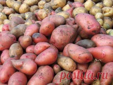 Чем отличаются розовый и белый картофель: что подойдет для жарки, а что – для пюре | Краше Всех