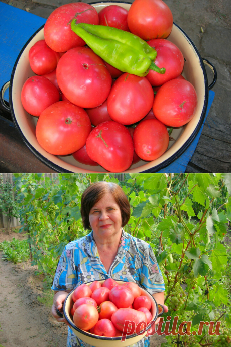 Розовые помидоры. Какие сорта сажаю каждый год. Рекомендации, посадка и уход!   6 соток. Светлана Аниканова   Яндекс Дзен #помидоры #томаты #посадкаиуход #дача #сад #огород #сортпомидоров