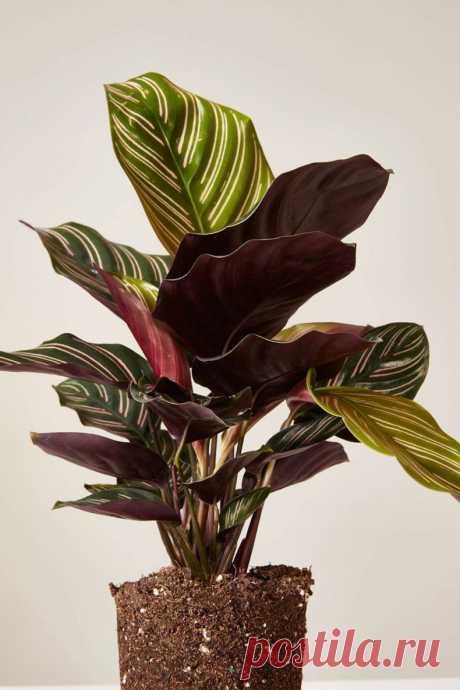Калатея - 130 фото комнатного растения, уход, полив, правила пересадки и размножения, полив