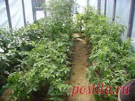 Список лучших сортов низкорослых томатов для теплиц!  1 Таблица 2 Санька 3 Андромеда Показать полностью…