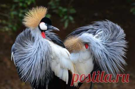 Венценосный журавль - красивейшая птица, занесённая в Красную книгу.