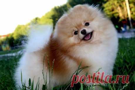 Померанский шпиц медвежьего типа (72 фото): белый и черный карликовый мини-медвежонок, описание взрослых собак и щенков породы померанский шпиц