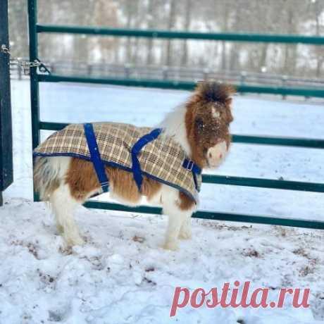 Лошадь из США легко принять за собаку из-за её роста