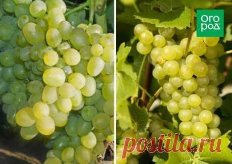 Виноградная пора.  Совет по уходу за виноградом.