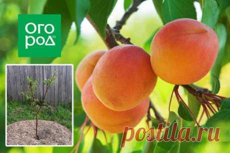 Выращивание абрикосов в средней полосе – как добиться хорошего урожая в неблагоприятных условиях | Слива, алыча, абрикос (Огород.ru)