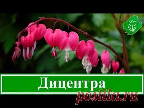 Цветок дицентра – посадка и уход: выращивание дицентры из семян; виды и сорта дицентры
