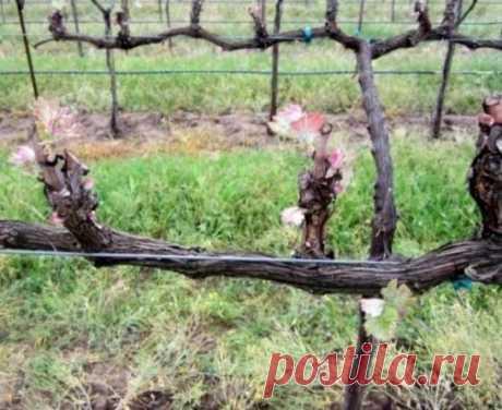 Обрезка винограда осенью для начинающих в картинках  Когда нужно обрезать виноград Мнения по поводу сроков обрезки виноградной лозы разделяются, но большинство виноградарей утверждает, что лучше всего обрезать побеги осенью. Дело в том, что весенняя обрезка часто приводит к «плачу» лозы, из-за чего не все почки распускаются, снижается урожай, может засохнуть обрезанный побег. Все это происходит, потому что с наступлением теплых дней в винограде начинает двигаться сок, растение становится слабы