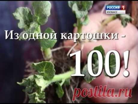Урожайные грядки. «Из одной картошки — сто».