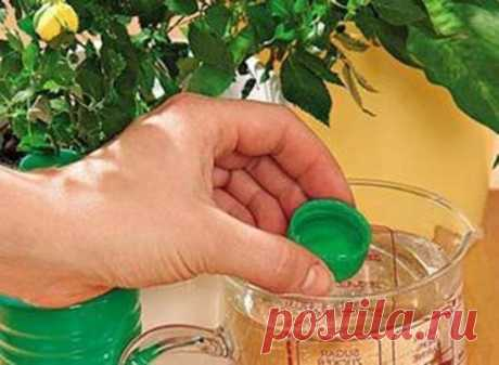 Нашатырь на даче 1. От муравьев на кухне. 100 мл нашатырного спирта смешать с 1 л воды и протереть раствором полы и всю мебель, обязательно хорошенько проветрить. Непрошеные гости и носа в ваше жилище больше не сунут. 2. От тли в саду. 2 ст. ложки нашатырного спирта развести в 1 ведре воды, добавить 1 ст. ложку стирального порошка или шампуня (чтобы раствор лучше прилипал к веткам) и обработать растения. 3. От луковой и морковной мухи. Эти вредители способны уничтожить весь урожай репки и корнеп
