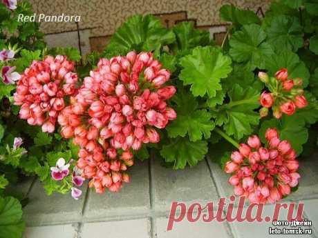 Пеларгония red pandora – это вам не герань!