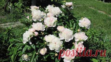 Травянистые пионы – как делить и пересаживать (мастер-класс с фото) | В цветнике (Огород.ru)