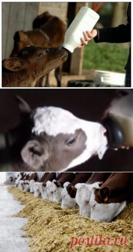 Кормление телят в молочный период выращивания - БиоКорова