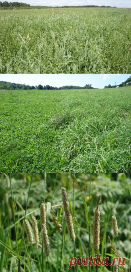 Злаковые кормовые травы в улучшенииаридных пастбищ - БиоКорова
