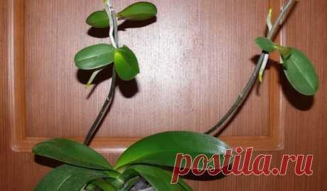 Как заставить орхидею фаленопсис «родить деток». Полезный совет — Мир Растений