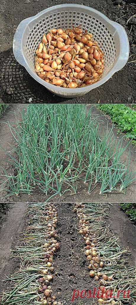 Дача ВИКТОРиЯ: Выращивание лука в Сибири