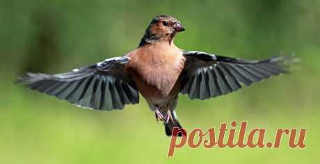 Орнитологи: Перелетные птицы толстеют ради секса / Новости / Моя Планета