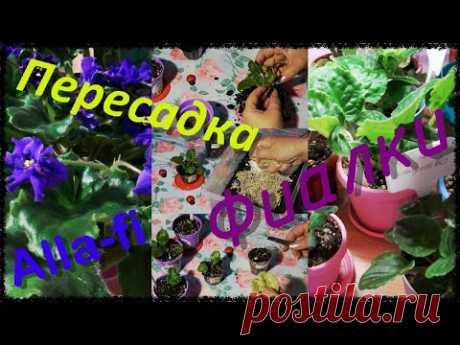 """Пересадка фиалок, обзор, маленькие """"Викинги"""" и """"Фаинки"""".Комнатные растения. - YouTube В этом видео я подробно показываю, как я пересаживаю свои фиалочки. С радостью делюсь своим скромным опытом по разведению и ухаживанию за комнатными растениями.  Alla - Fi и мои Fiалочки."""