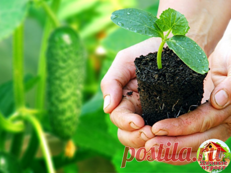 Огурцы : сильнее корни - больше урожай  Существует эффективный метод выращивания раннего урожая огурцов - в среднем по 20-25 шт. с каждого куста. Урожай при использовании этого метода в несколько раз выше обычного.  Для этого сухие семена огурцов высевают в ящики, на дно насыпают песка - для фильтрации, сверху добавляют почвосмесь (50% огородной земли и 50% перегноя).  Наполнять ящички следует до половины их высоты на 3-4 см. Семена высаживают на глубину 1-2 см через 3-4 с...
