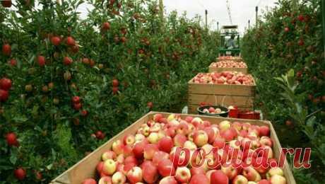 Яблоневый сад как бизнес. Как разбить яблоневый сад, советы.