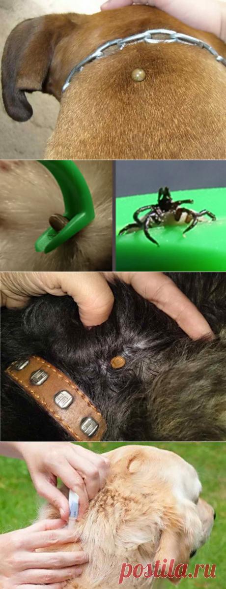 На собаке клещ: симптомы укуса, как вытащить паразита, последствия