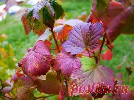 Как правильно осенью подготовить смородину к зимовке, чтобы в следующем сезоне получить щедрый урожай | Мой сад и огород | Яндекс Дзен