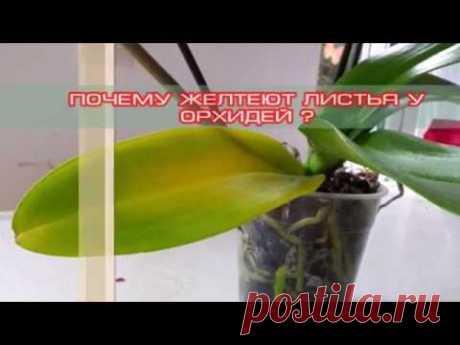 Почему желтеют листья у орхидей? основные причины.