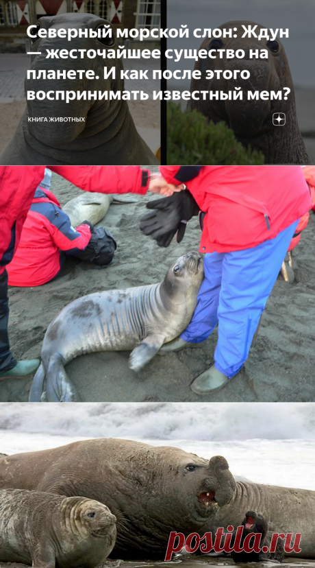 Северный морской слон: Ждун — жесточайшее существо на планете. И как после этого воспринимать известный мем?   Книга животных   Яндекс Дзен