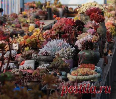 Использование экзотических растений в украшении интерьера сейчас на пике популярности. Многие выращивают у себя дома экзотические цветущие лианы, магнолии, пальмы, суккуленты. Последние представители флоры возглавляют рейтинг популярности. Написано много книг, ведутся специальные курсы по уходу за данным видом растений, использованию его в интерьере...