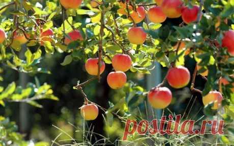Полезные советы садоводу   1.Если под яблоней посадить полынь или пижму, они защитят дерево от такого вредителя как плодожорка. Защитит сад от непрошенных гостей и бузина.  2. Яблоню и вишню лучше сажать подальше одну от другой: корни растений действуют друг на друга угнетающе.  3. Чтобы малинный жук не портил ягод, в мае, еще до начала цветения, опылите кусты смесью табачной пыли с золой (1:1). Опыление проводите по сырым листьям, чтобы порошок к ним приставал.  4. Как пр...