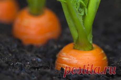 Маленькие секреты крупной моркови   Морковь часто выращивают на дачных участках в средней полосе России. Ровные рядки, похожие на кустики петрушки (на мой взгляд), являются украшением участка и предметом гордости дачника. Далеко не вс…