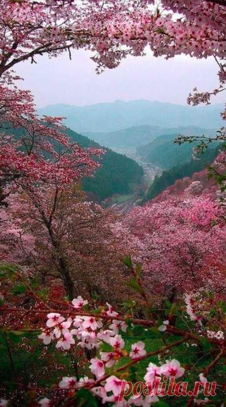 Sakura blossoms overlooking Yoshino, Japan... #Tokyo от Paul Hillier Photography / Фотографии от пользователя Paul Hillier Photography (www.paulhillier.com) на Getty Images      Pinterest • Всемирный каталог идей
