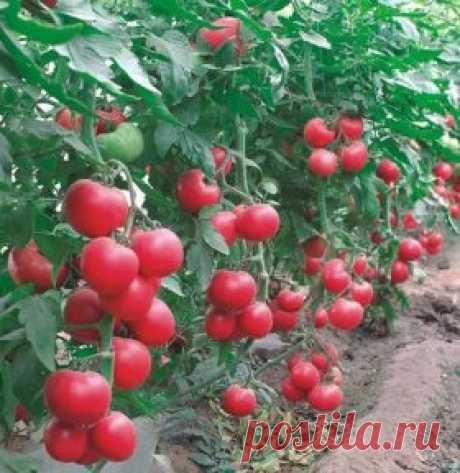 Борьба с фитофторой и вредителями на помидорах