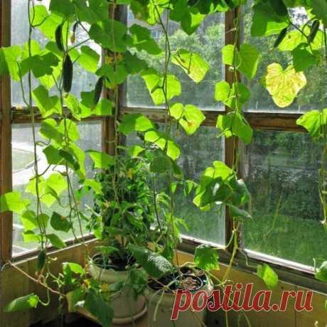 Огурцы на балконе – забытая технология выращивания   Технологии (Огород.ru)