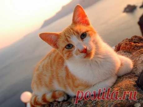 Эгейская кошка: подробный обзор породы с фото и видео