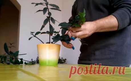 Простой способ вырастить большое количество лаврового листа в домашних условиях