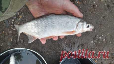 Как поплавочной удочкой наловить много рыбы на реке с берега | Дневник заядлого рыболова | Яндекс Дзен
