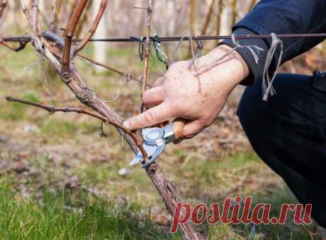 Como proteger la uva de las enfermedades y los saboteadores