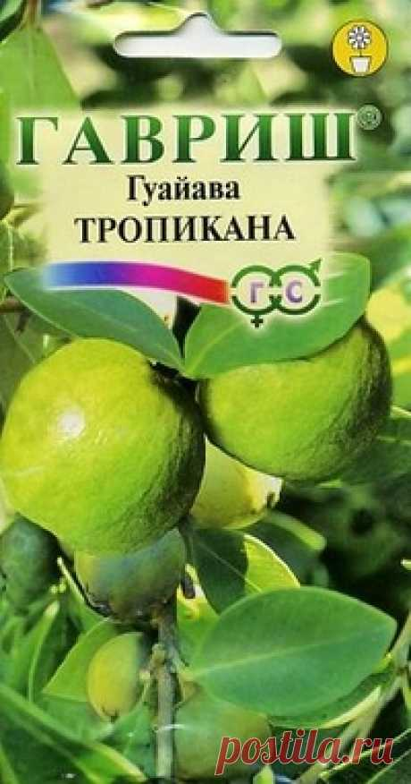 """Семена. Гуайава """"Тропикана"""" (вес: 0,2 г) Всхожесть: 82%. Тропическое растение семейства Миртовые, родом из Центральной и Южной Америки. В комнатных условиях гуайаву выращивают в виде кустарника или деревца. Побеги четырехгранные, с розовым оттенком. Листья эллиптические, супротивные, темно-зеленые, длиной 8-15 см, шириной 3-5..."""
