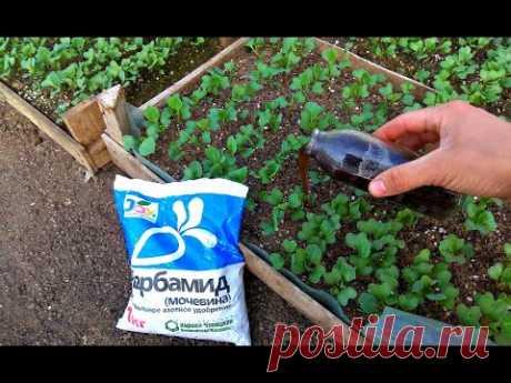 Рассада капусты будет ТОЛСТОЙ и КРАСИВОЙ. Секреты выращивания рассады.